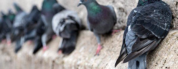 pigeon pest control melbourne
