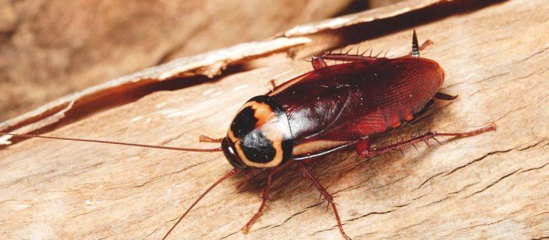 cockroaches pest control melbourne