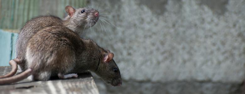 mice pest control melbourne