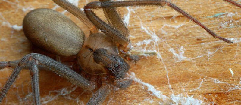 spiders pest control melbourne