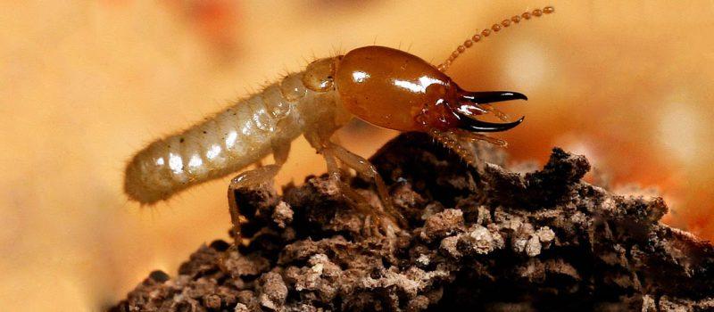 termites pest control melbourne