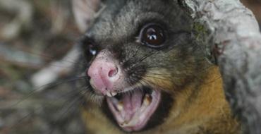 possums-pest-control-melbourne
