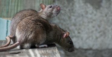 rats pest control melbourne